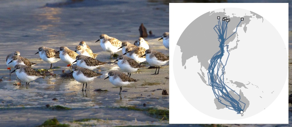 Photo: Red-necked Stints (Mark Smith). Map of the amazing migration of these birds provided by Simeon Lisovski as part of continued projects with Marcel Klaassen (Deakin University) and the Victorian Wader Study Group.