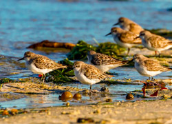 Red-necked stints, marked with a small metal ring and an orange tag on their legs, travel from Australia to Siberia to breed. Credit Mark Smith.