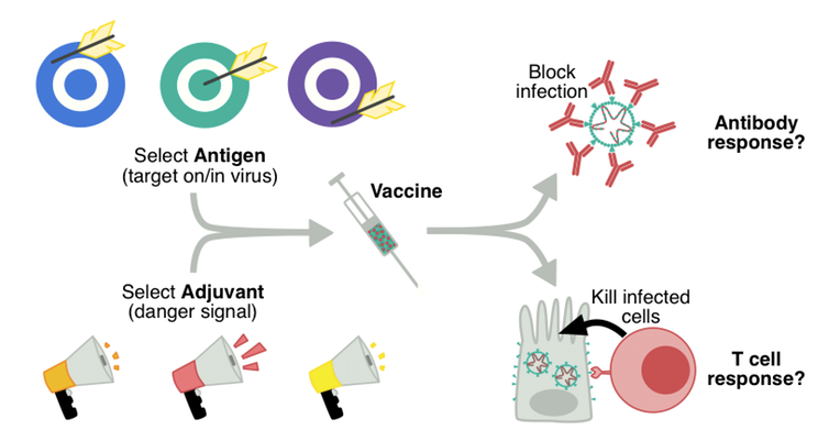 The basic components of a vaccine include the adjuvant and the antigen. Author provided