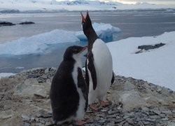 Research finds Antarctic penguins infected with avian influenza viruses